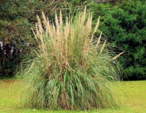 herbe de la pampa archi-tech paysagiste